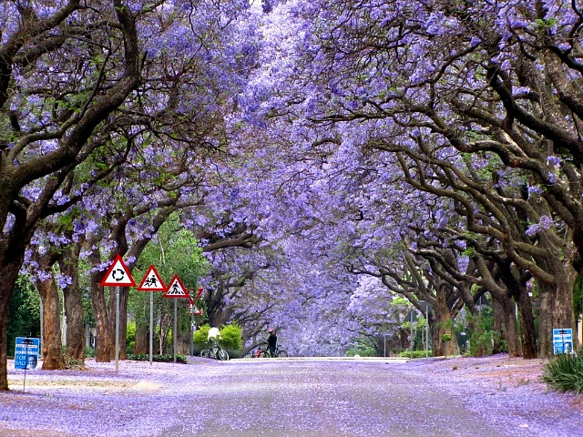 Jacaranda-Street-Brooklyn-Pretoria-South-Africa.jpg- Photo #2