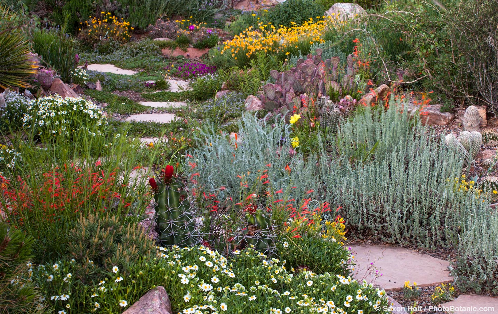 David Salman xeric New Mexico rock garden with silver foliage Artemisia frigida, Penstemon pinnifolius, Melampodium (Blackfoot Daisy) and Claret-cup cactus, Echinocereus triglochidiatus