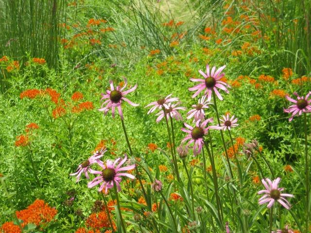 2007-06-30 00.27.03.jpg- Photo #1- Chanticleer- Rudbeckia and Buttrflyeed