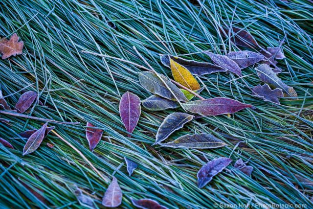 frost on meadow grass lawn (Festuca rubra) and tree leaves in California garden in winter
