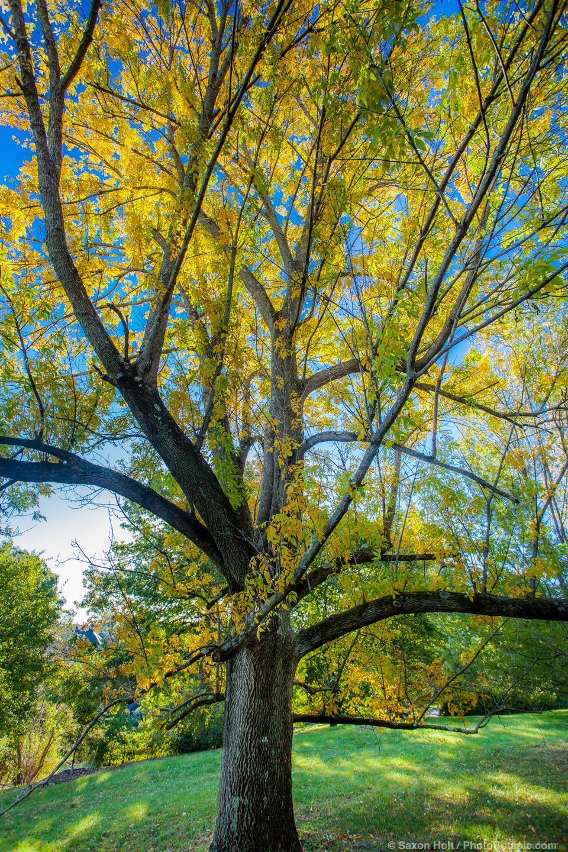Fraxinus pennsylvanica 'Vinton', Green Ash tree - Arnold Arboretum