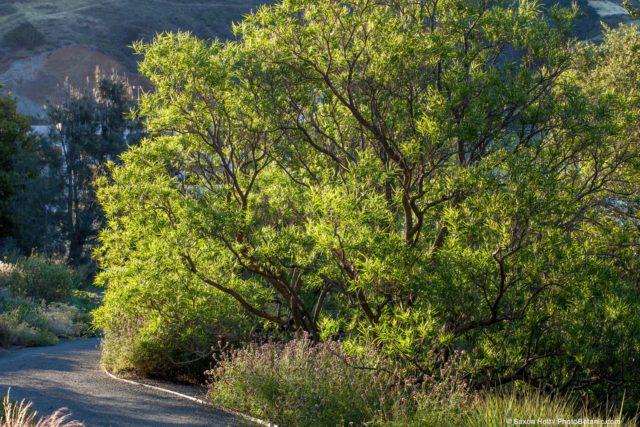 Chilopsis linearis - Desert Willow, Californa native tree in morning light at Leaning Pine Arboretum, California
