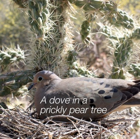 1_dove-in-prickly-pear-tree_a_2_r