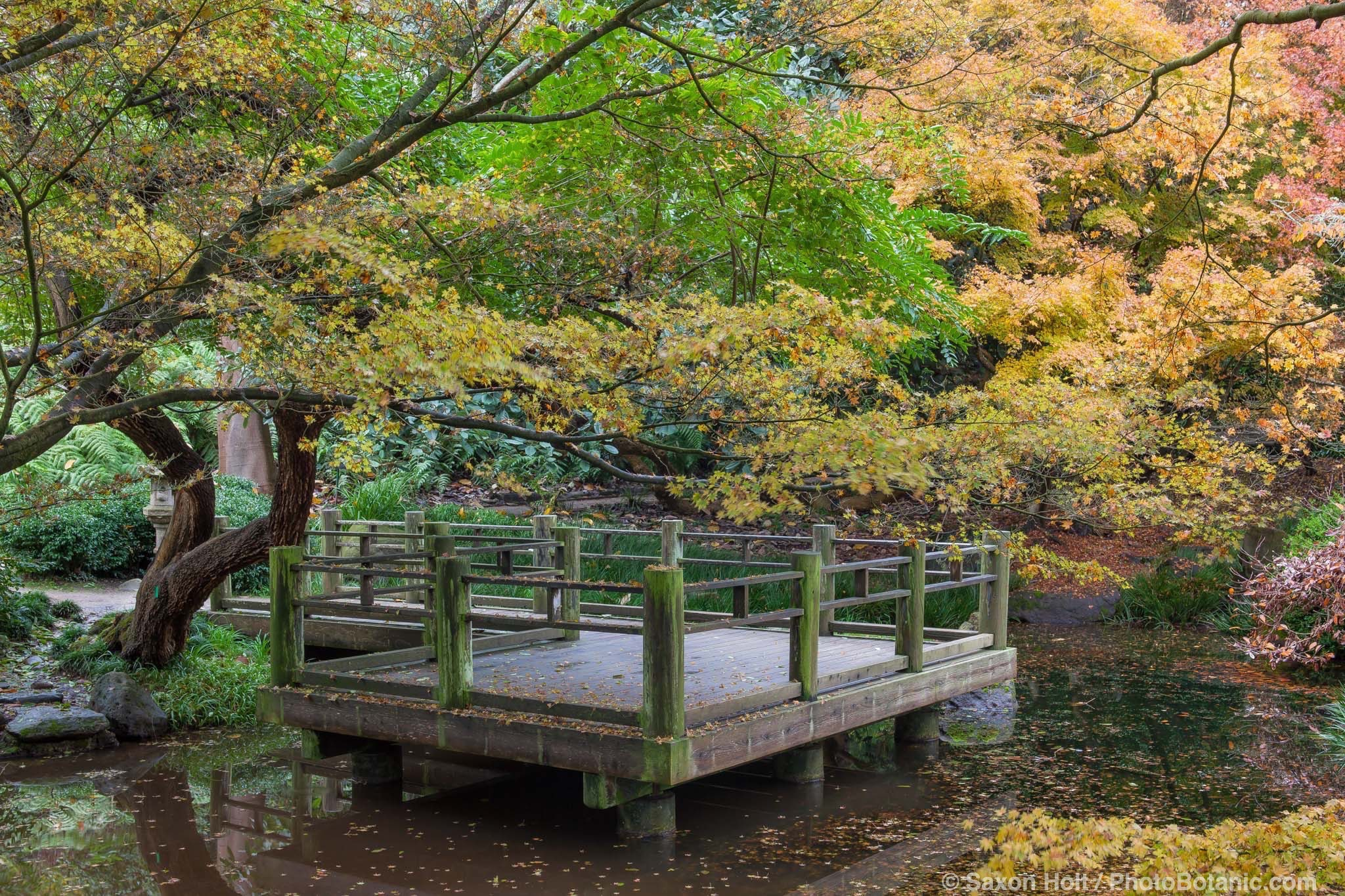 Platform viewing deck over pond in Moon Viewing Garden in San Francisco Botanical Garden with fall foliage color in Japanese Maple trees.