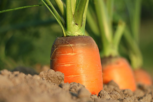 Carrots growing in eco friendly organic sustainable garden
