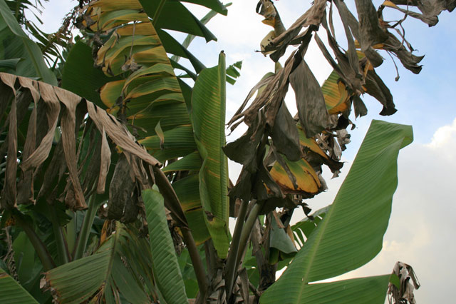 Fusarium wilt infected banana tree leaves