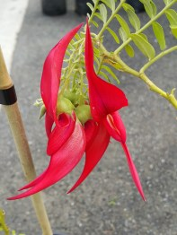 Our natiive Kaka Beak (Clianthus puniceus) is such a beautiful plant