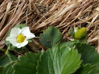 Tiny strawberries will soon be fat red ones