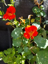 Nasturtiums look fab on a fence, but then Nasturtiums look fab anywhere
