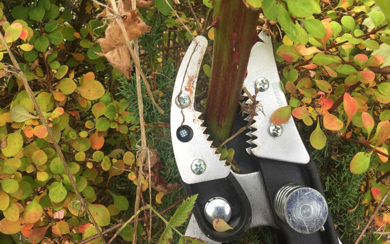 Fiskars Cut and Grab Loppers with the blackberry bush