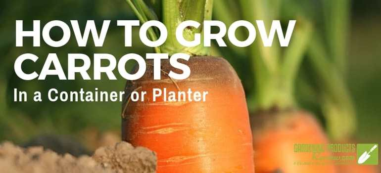 carrots growing in a planter