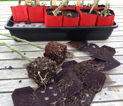 air pruned roots on Peel Away Pot seedlines