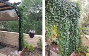 vines growing on Scroll Trellis