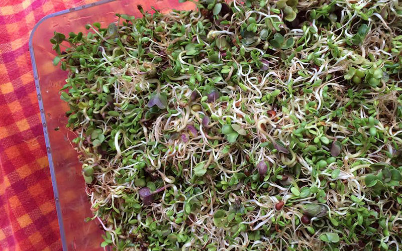 Botanical Interestes Seed Sprouter-with sprouts