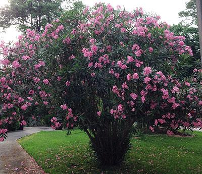 oleander - university of florida