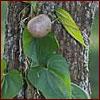 Air potato vine on tree