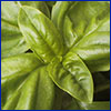 Close look of lush green basil leaves