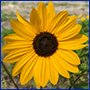 Yellow daisy like flower with brown center