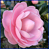 Pale pink camellia flower