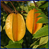 Two carambola fruit hanging from tree