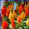Bright orange and yellow spikes of celosia, resembling flames