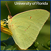 Yellow male cloudless sulphur butterfly