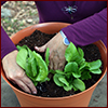 Hands planting baby lettuce in pot