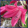 Dark pink crinum flower