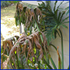 Tropical plant with brown and drooping leaves