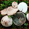 false parasol mushrooms