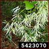 fringetree flowers