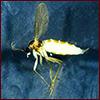 fungus gnat