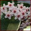 Hoya flower