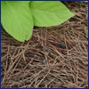 Pine straw mulch with bright green leaves of a plant peeking into the frame