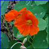 Deep orange flower of edible nasturtium