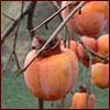 ripe Oriental persimmons