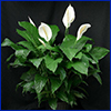 Leafy green peace lily plant with tropical white flowers