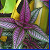 Vivid purple and green foliage of Persian shield plant