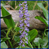 pickerel weed flower