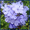 Blue-purple flowers of plumbago