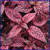 Polka-dot plant with pink leaves mottled with green