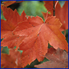 A red Florida maple leaf