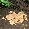 Dog vomit slime mold on ground under shrub