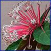 Starburst clerodendrum flower