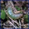 small green worm in the roots of turgrass