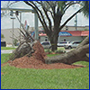 A large tree uprooted by storm