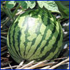 Striped watermelon in the field
