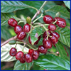 Small deep wine-red fruits in a cluster on branch of green plant