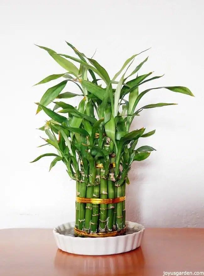 Lucky Bamboo Care