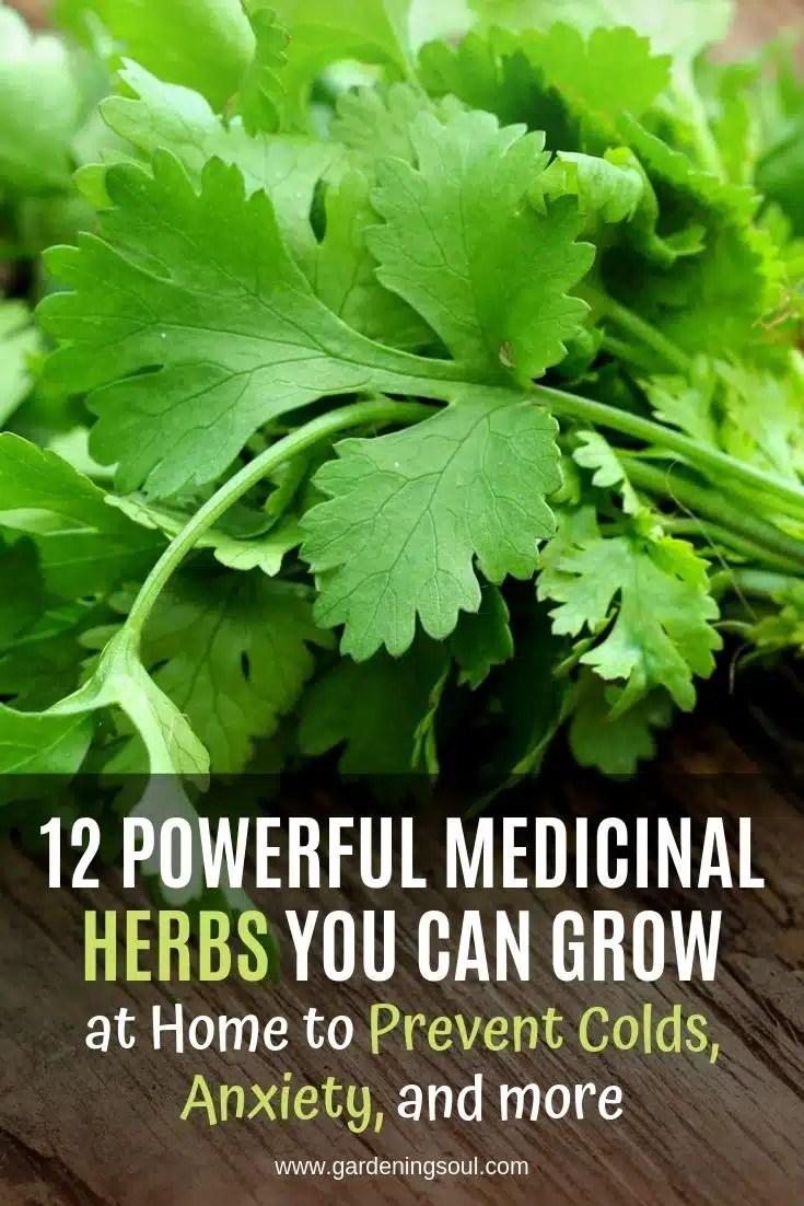 12 Powerful Medicinal Herbs you can Grow - Gardening Soul